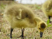 Little baby geese picking at the ground. To eat royalty free stock image