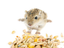 Little baby gerbil Stock Photo