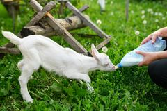 Little baby goat drinking bottled milk in a children`s farm royalty free stock images