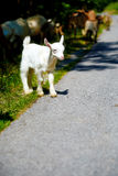 Little baby goat with goat herd walking on the mountain road. Royalty Free Stock Photo