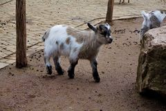 Little baby goat in the zoo. Little baby goat and rock in the zoo Royalty Free Stock Photo