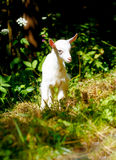 Little baby goat on wild meadow on beautiful sommer day. Little baby goat on wild meadow on beautiful sommer day Royalty Free Stock Photo