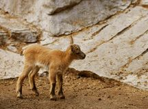 Little baby goats Stock Photography