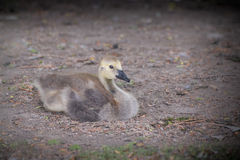 Little baby goose on ground Royalty Free Stock Photos
