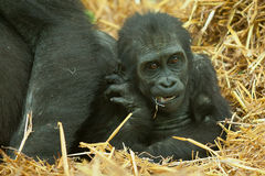 Little baby gorilla Stock Image