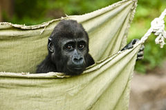 Little baby gorilla. Small gorilla sitting in a hammock Stock Photography