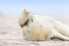 Little baby grey seal Royalty Free Stock Photos
