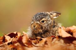 Little baby hare Lepus europaeus. In spring stock photo