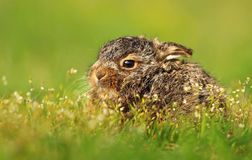 Little baby hare Lepus europaeus Royalty Free Stock Photo