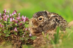 Little baby hare Lepus europaeus Stock Photos