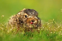 Little baby hare Lepus europaeus Royalty Free Stock Photos