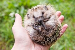 Little baby hedgehog on the palm. Little cute baby hedgehog on the palm closeup stock photos