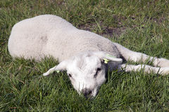 Little baby lamb in the meadow Stock Photography