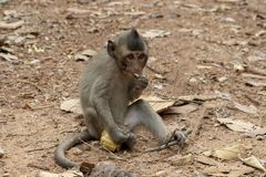 Little baby monkey eating corn. Cute monkey closeup portrait. Wild chimpanzee in jungle forest. Tropical wildlife in asian country. Young monkey resting stock images