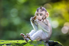 Little baby-monkey. In monkey forest of Ubud, Bali, Indonesia stock image