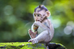 Little baby-monkey Royalty Free Stock Photography