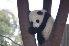 Little Baby Panda  in Chengdu, China. Fluffy Little Panda Cub is Sleeping on the Tree stock photo