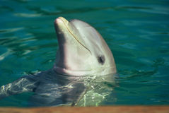 Little Baby Porpoise Stock Image