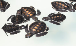 Little baby Sea turtles in nursery Royalty Free Stock Photo