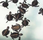 Little baby Sea turtles in nursery Stock Photo