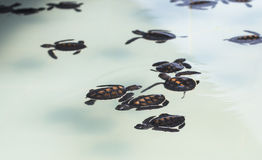 Little baby Sea turtles in nursery, Thailand Royalty Free Stock Photos