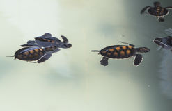 Little baby Sea turtles in nursery, Thailand Stock Images