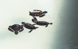 Little baby Sea turtles in nursery, Thailand Stock Photo