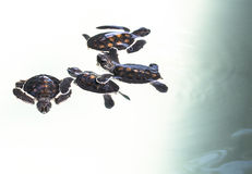 Little baby Sea turtles in nursery, Thailand Stock Photos
