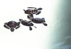 Little baby Sea turtles in nursery, Thailand Stock Photos
