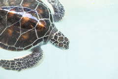 Little baby Sea turtles Stock Images