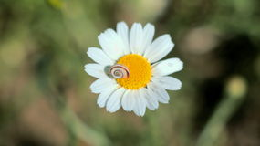 Little,baby snail on the dasy blooming flower. Meadow stock images
