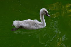 Little baby swan Stock Image