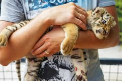 Baby tiger lies and gets pleasure that his stroking man. cub predatory cat in the hands of man stock images