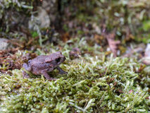 Little Baby Toad Stock Photography