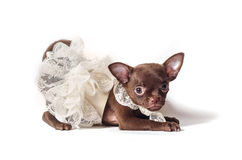 Little balerina. Tiny Chihuahua puppy in white dress Stock Images