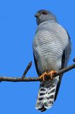 Gabar Goshawk (Melierax gabar) Royalty Free Stock Photos