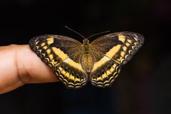Little Banded Yeoman butterfly Stock Image