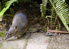 Little bandicoot coming out looking for some food. In western Australia Stock Photography