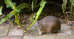 Little bandicoot coming out looking for some food Stock Image