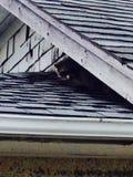 Little bandit. Canada scenery Animals raccoon royalty free stock image