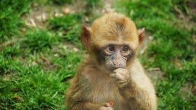 Little barbary ape in zoo de Beaval Stock Image