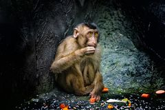 Little Barbary macaque, Macaca sylvanus, sitting near the tree and eats fruit. He`s very cute. It is close up photo. It. Is nature background wit cute little stock photos