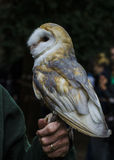 A little barn  owl Stock Images