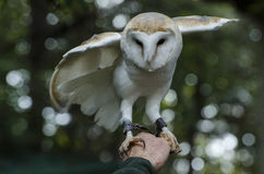 A little barn  owl. A small barn owl with piercing eyes and soft white feathers and yellow opening its wings perched on the hand of his master Stock Photos