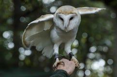 A little barn  owl Stock Photos