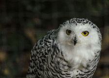 A little barn  owl Stock Image