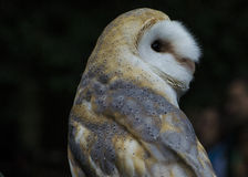 A little barn  owl. A small barn owl with yellow eyes and with soft white feathers and yellow seems to look away Stock Images
