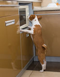 Little Basenji doing kitchen work Stock Image