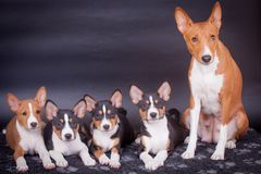 Little Basenji puppies with mother on black Royalty Free Stock Photos
