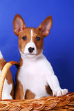 Little Basenji puppy Stock Images